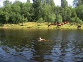 2013-06 Sälen drar till sig nyfikna kor ...