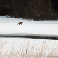 Räven ute på Mossbergssjön - litade inte på oss ...