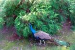2013-07 Mårbacka påfågeln